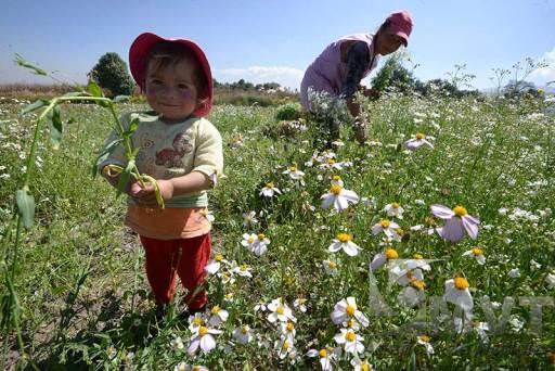 Confían productores de flor en buenas ventas por Día de Muertos